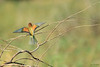Abejaruco europeo (Merops apiaster) / European bee-eater