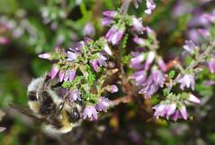 Bumblebee on heather