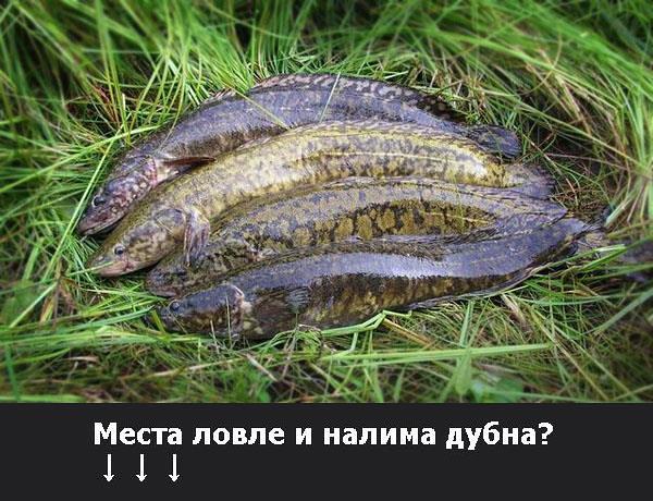 Места ловли налима на волге? Налима хотят запретить были обнаружены именно зимой, при