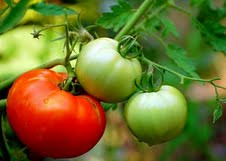 Tomatoes ripening on the vine