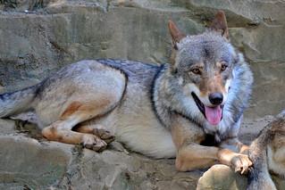 Image of オオカミ. animal animals zoo wolf gray tama graywolf 動物園 zoological 多摩動物公園 tamazoo tamazoologicalpark 狼 オオカミ 多摩動物園 灰色狼 灰色オオオカミ