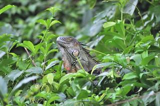 Enorme iguana entre la maleza Tortuguero - 7950178788 8f476c66db n - Tortuguero, entre la tranquilidad y la vida salvaje