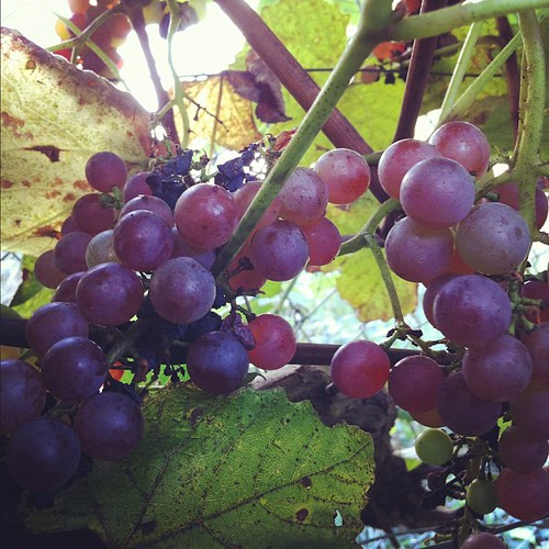 Reliance Seedless grapes have a citrusy, almost grapefruit flavor #organicgarden #urbangarden #maine #zone6a