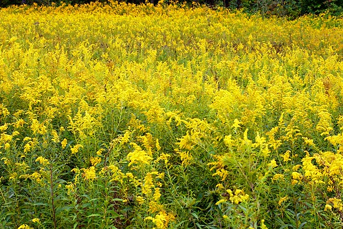 Yellow Freedom