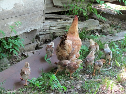 Lokey and her ten chicks (9) - FarmgirlFare.com