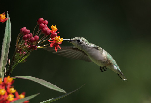 Eating some butterfly weed by conniee4