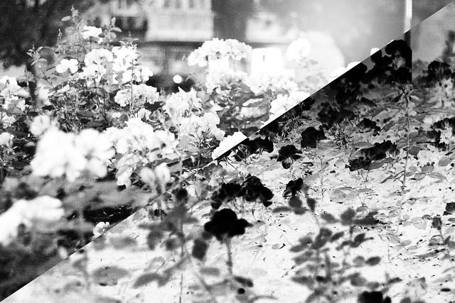hejregina rosenbuske2