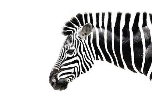 [フリー画像素材] 動物 1, 馬・ウマ, シマウマ ID:201209191800