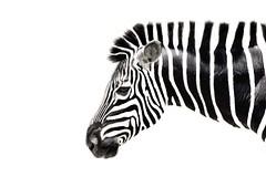 [免费图片素材] 动物 1, 马, 斑马 ID:201209191800