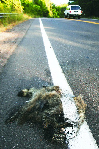 Roadkill Raccoon