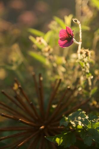 geranium ann folkard  2180