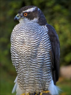 Goshawk taken at Newent