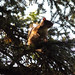 Small photo of North American Red Squirrel