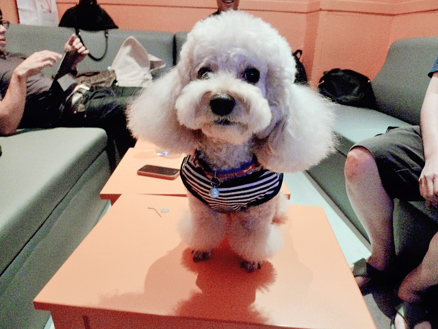 cute poodle at ktv