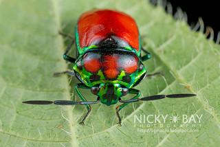 Shield-Backed Bug (Scutelleridae) - DSC_1667
