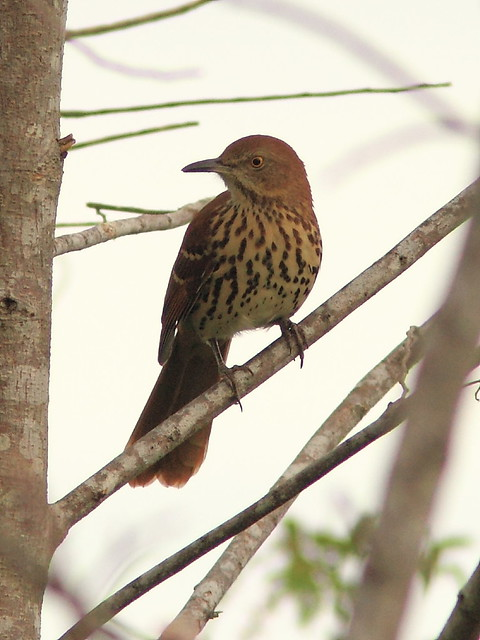 Brown Thrasher 20120919