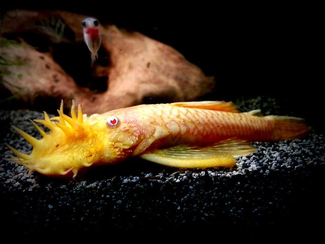 How big do bristle nose plecos get tropical fish forums for Big nose fish