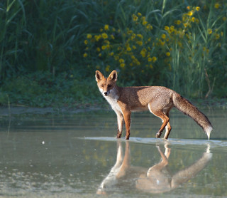 Red Fox in the Po Valley
