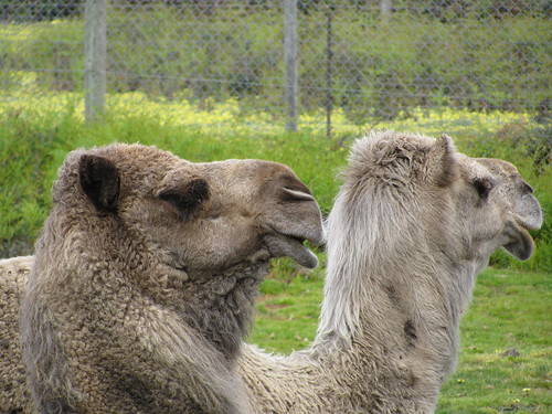 Camels at Halls Gap Zoo by holidaypointau