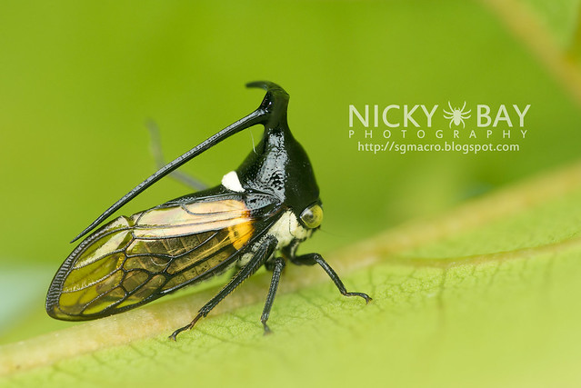 Treehopper (Membracidae) - DSC_6324
