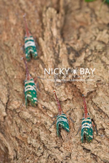 Lantern Bug (Pyrops candelaria) - DSC_3714