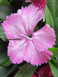 Pink diantus