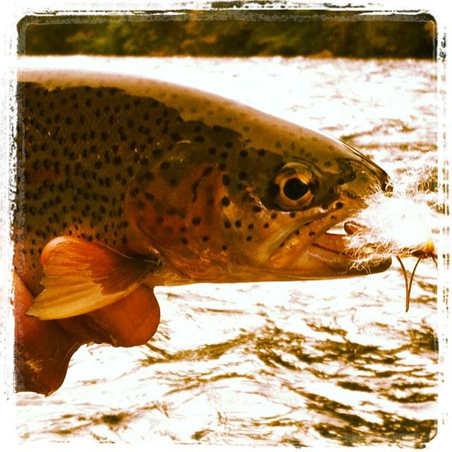 mckenzie river wild trout