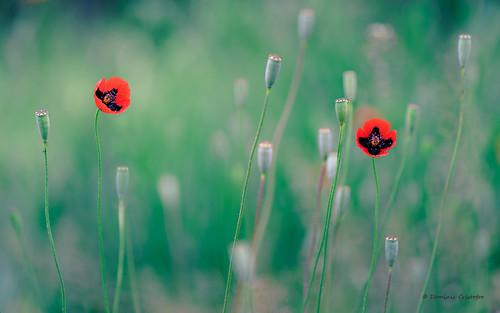 flowers red plant macro green closeup spring nikon noflash nikkor 150mm splittoning 105mmf28gvrmicro kenko14x d700