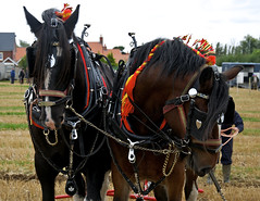 animal sports, pack animal, horse, horse harness,