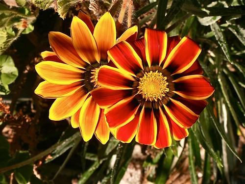 Gazania blooms
