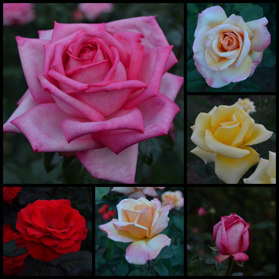 roses_sept2012_PicMonkey Collage