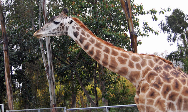 giraffe - san diego zoo ticket deals