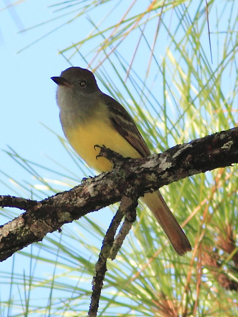 Great Crested Flycatcher 20120930