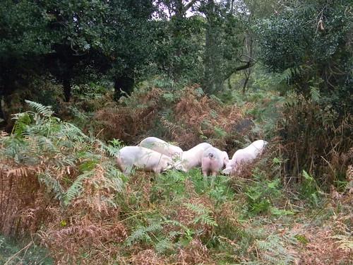Very free range piggies
