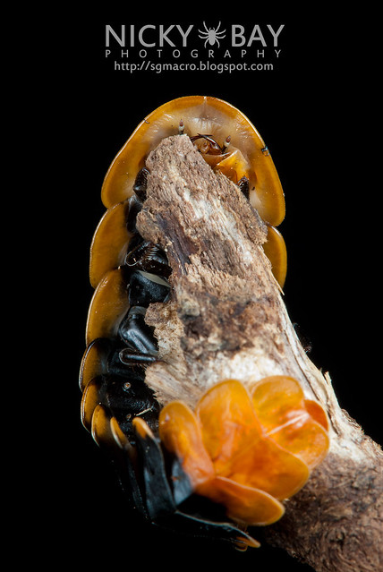 Firefly larva (Lampyridae) - DSC_5541