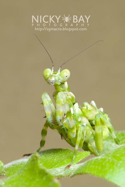 Banded Flower Mantis (Theopropus elegans) - DSC_3604