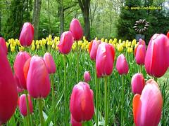 Dutch Tulips, Keukenhof Gardens, Netherlands - 3935