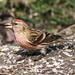 Small photo of Common Redpoll (Acanthis flammea)