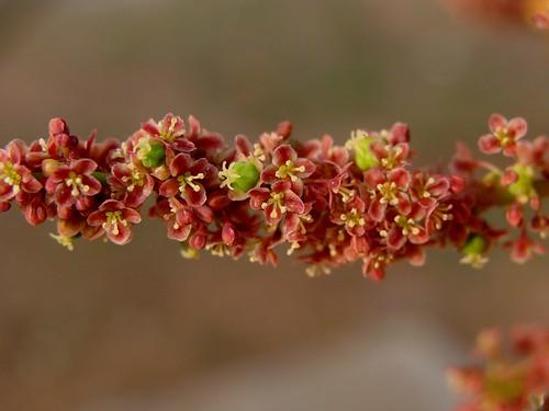 Flowers of star gooseberry