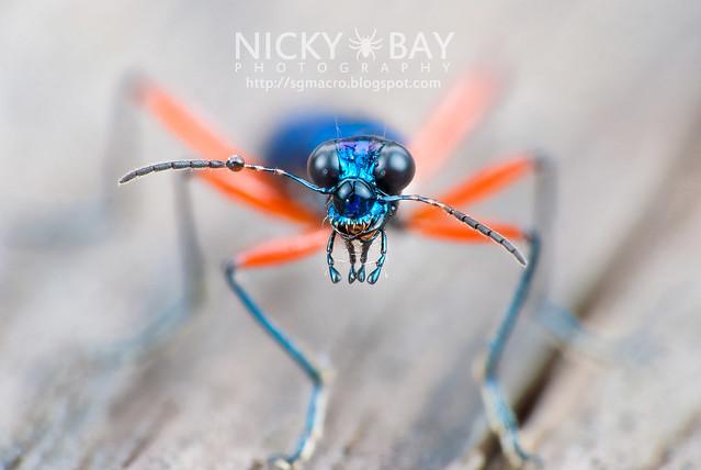 Tiger Beetle (Cicindelinae) - DSC_2435