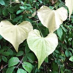 Coeurs de la nature #cœur #feuilles #arbres #nature @genevatourism