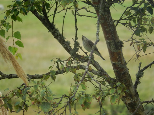 Pied flycatcher, 2016 Aug 05 -- photo 10