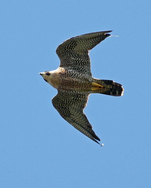 Peregrine falcon wings