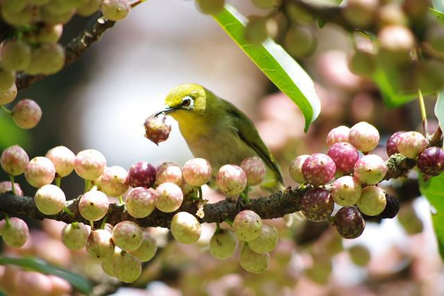 綠繡眼吃果子