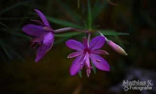 Violetter Stern