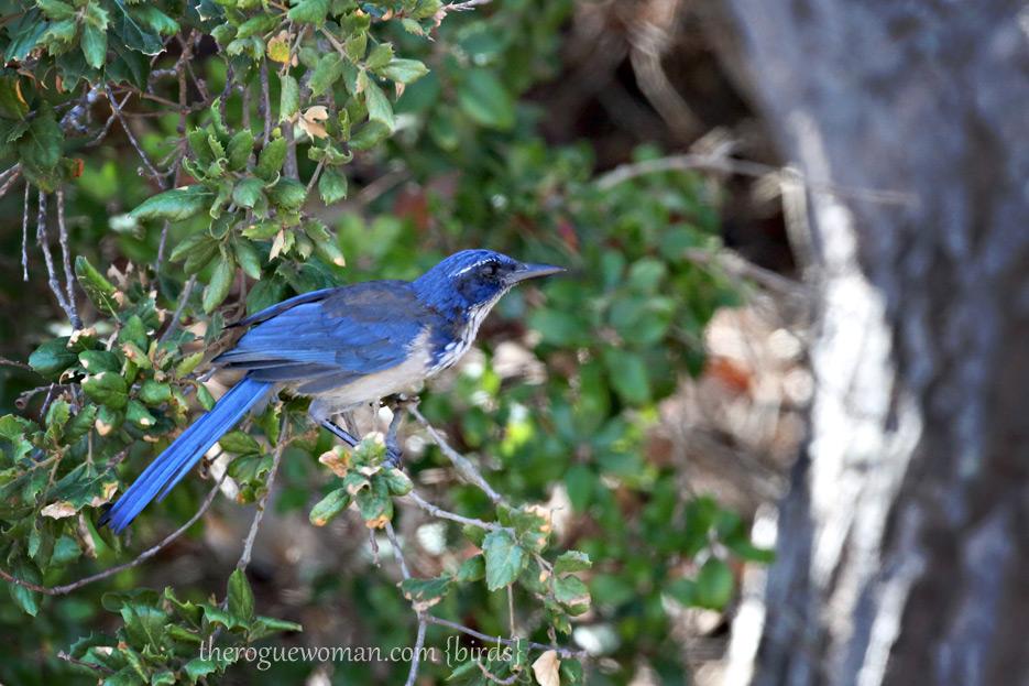 081812_08_bird_islandScrubJay01