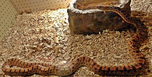 serpiente toro 2