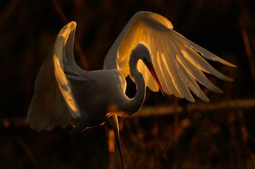 sunrise egret bombayhook specanimal karasclassics tpsnature
