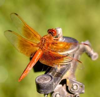 Red Dragonfly on Metal