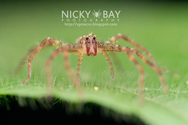 Nursery Web Spider (Pisauridae) - DSC_5152